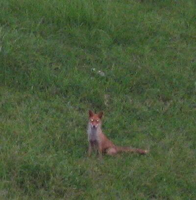 狐の画像ください-090