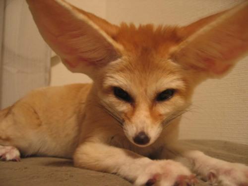 狐の画像ください-068_2