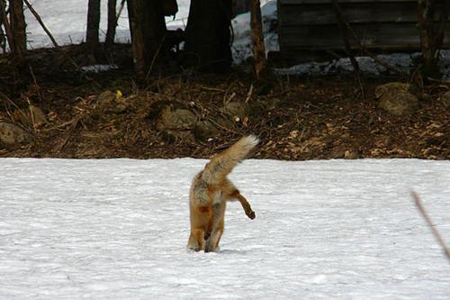 狐の画像ください-083_3