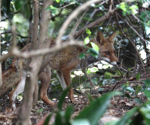 狐の画像ください-074_3