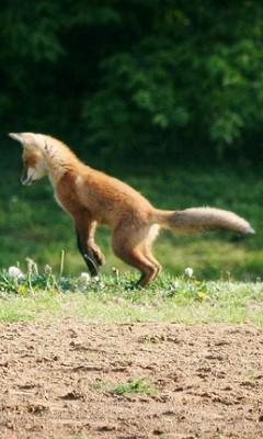 狐の画像ください-113_5