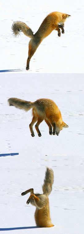 狐の画像ください-017