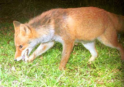 狐の画像ください-125_1