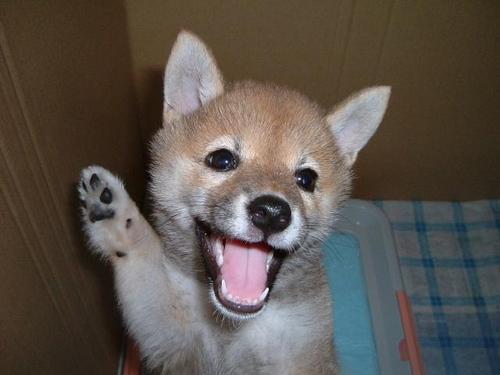 柴犬より可愛い犬種って存在するの-001_1
