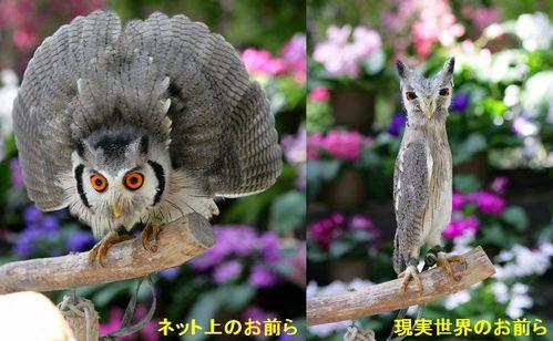 ハヤブサとフクロウの画像ください><-017_1