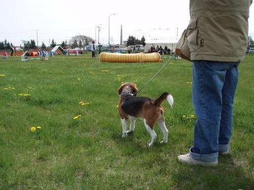 柴犬より可愛い犬種って存在するの-070_3