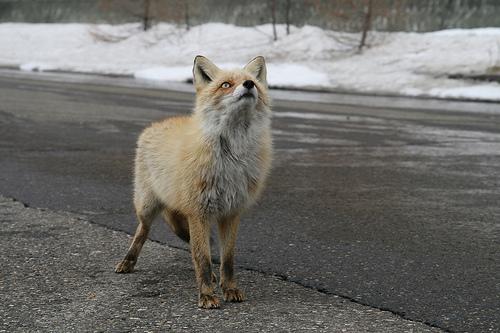 狐の画像ください-081_2