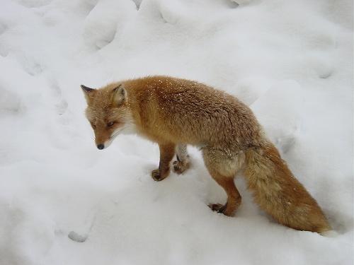 狐の画像ください-020_2