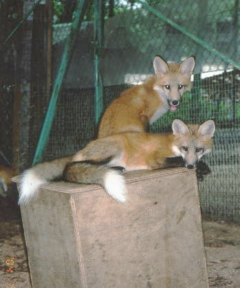狐の画像ください-030