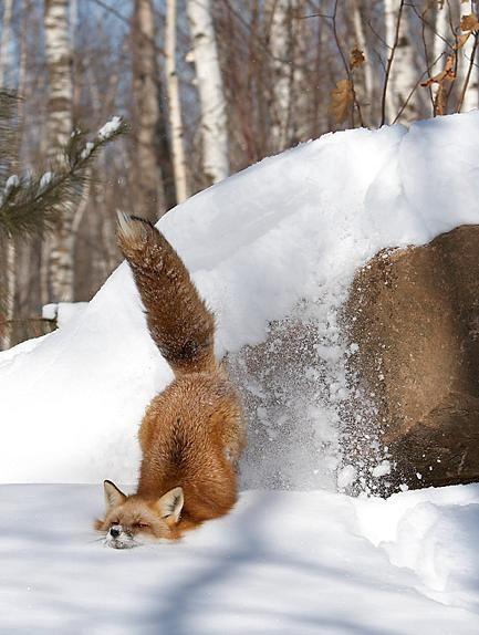 狐の画像ください-022