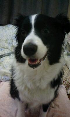 柴犬より可愛い犬種って存在するの-085