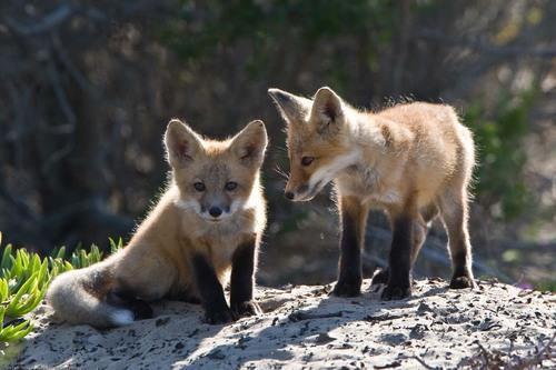 狐の画像ください-070_1