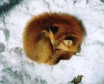 狐の画像ください-045