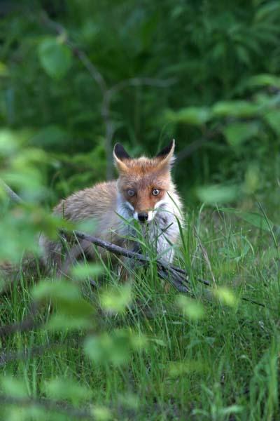 狐の画像ください-124