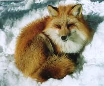狐の画像ください-033
