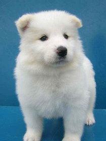 柴犬より可愛い犬種って存在するの-039