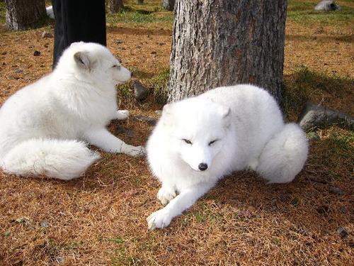 狐の画像ください-009