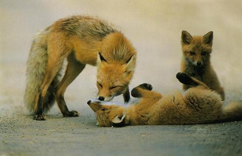 狐の画像ください-027