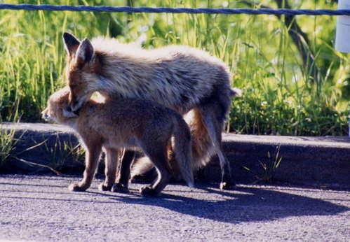 狐の画像ください-102_1