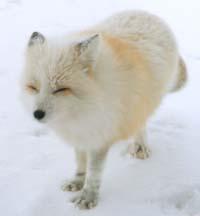 狐の画像ください-015_2