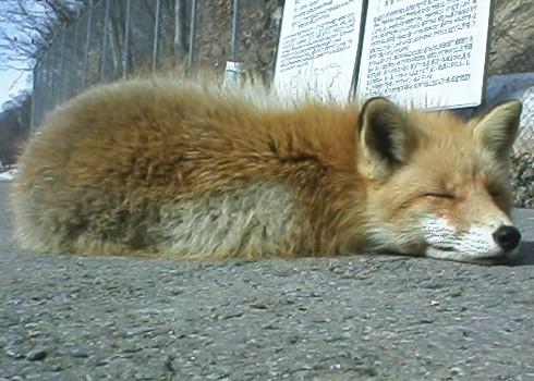 狐の画像ください-001
