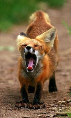 狐の画像ください-113_1
