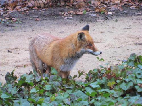 狐の画像ください-099_3