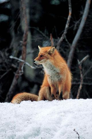 狐の画像ください-104_2
