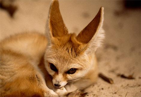 狐の画像ください-064_1