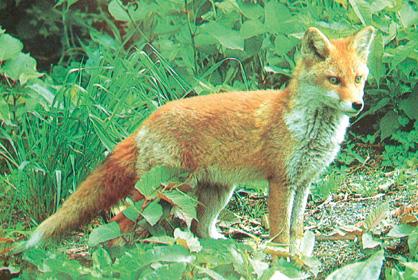 狐の画像ください-131_2