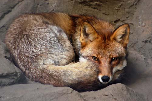 狐の画像ください-123_1
