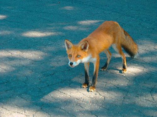 狐の画像ください-099_2