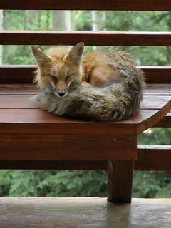 狐の画像ください-113_4