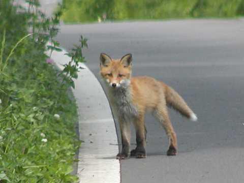 狐の画像ください-096_4
