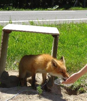 狐の画像ください-057_1