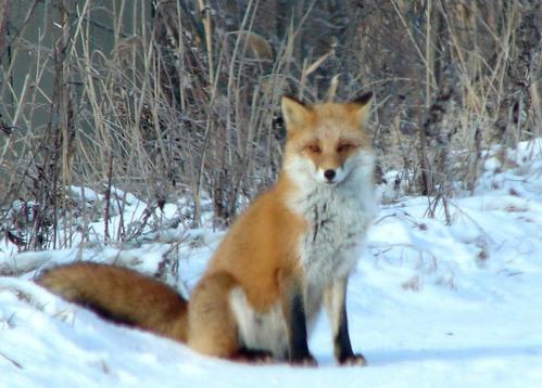 狐の画像ください-020_1