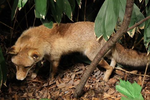 狐の画像ください-131_4