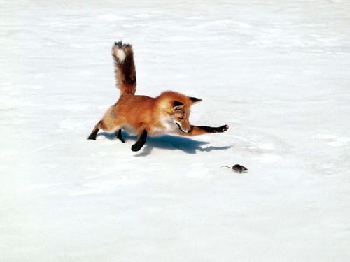 狐の画像ください-025