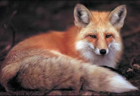 狐の画像ください-011