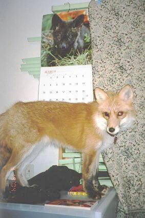 狐の画像ください-092_6