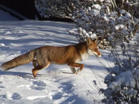 狐の画像ください-125_3