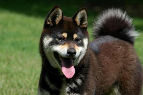 柴犬より可愛い犬種って存在するの-062_2