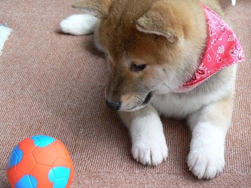 柴犬より可愛い犬種って存在するの-001_5