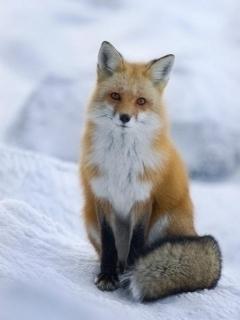狐の画像ください-013