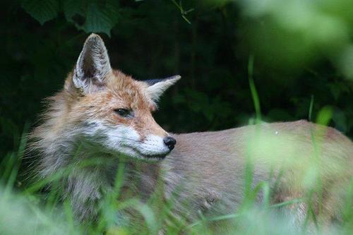 狐の画像ください-007