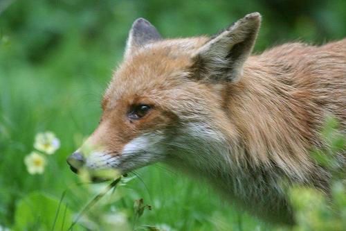 狐の画像ください-016
