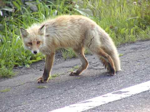 狐の画像ください-096_3