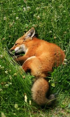 狐の画像ください-113_2