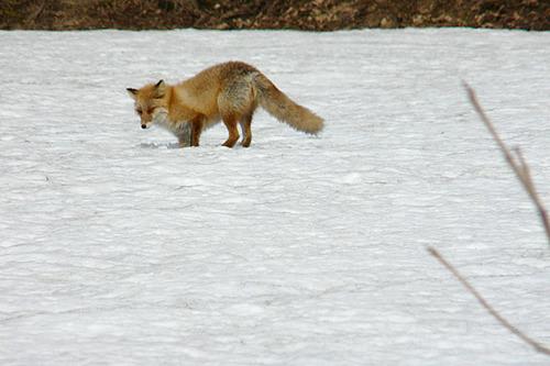 狐の画像ください-083_4