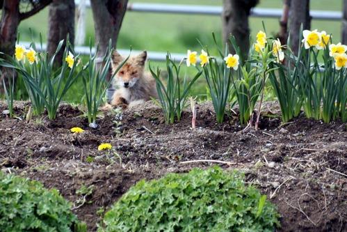 狐の画像ください-053